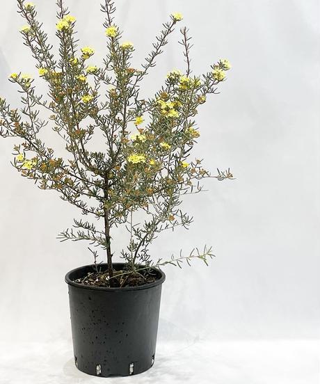 【ベランダ・庭】 フェバリウム ゴールデングロウ