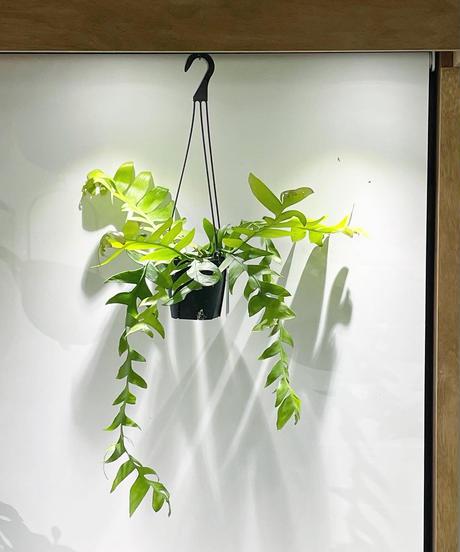 【観葉植物 】エピディウム クリソカルディウム