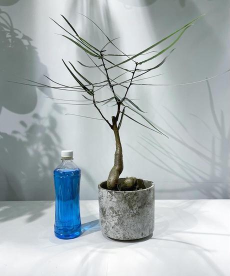 【観葉植物】ボトルツリー