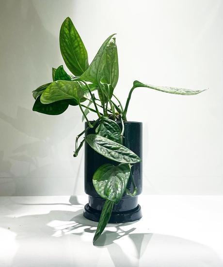 【観葉植物 】モンステラ  ジェイドシャトルコック/ glazed tall pot black