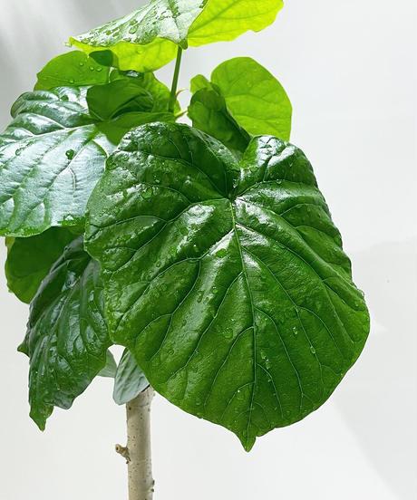【観葉植物 】ウンベラータ / uroco brown pot φ17