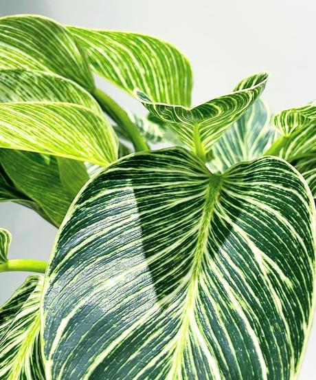 【観葉植物 】  フィロデンドロン バーキン   /  unglazed curving cut pot tall
