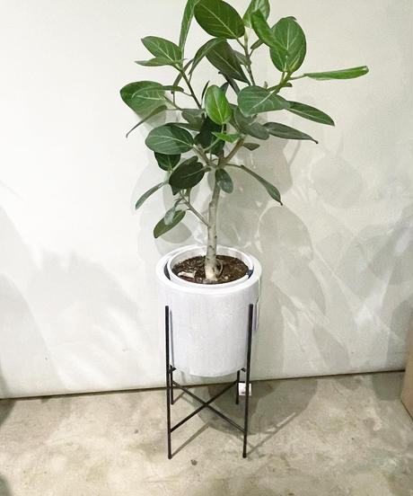【観葉植物 】フィカス ベンガレンシス / ホワイトジャーシリンダーポット / アイアンポットスタンド