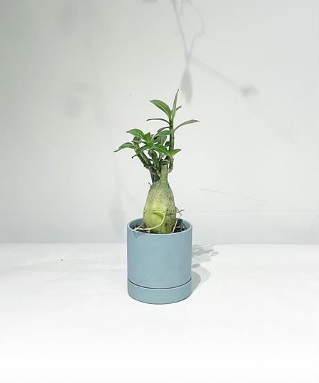 【観葉植物】アデニウム / slynder mat pot green