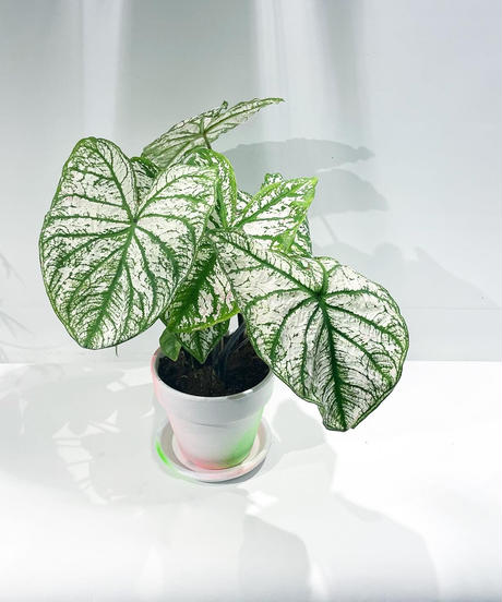 【観葉植物 】 カラジウム  / white'neon pot