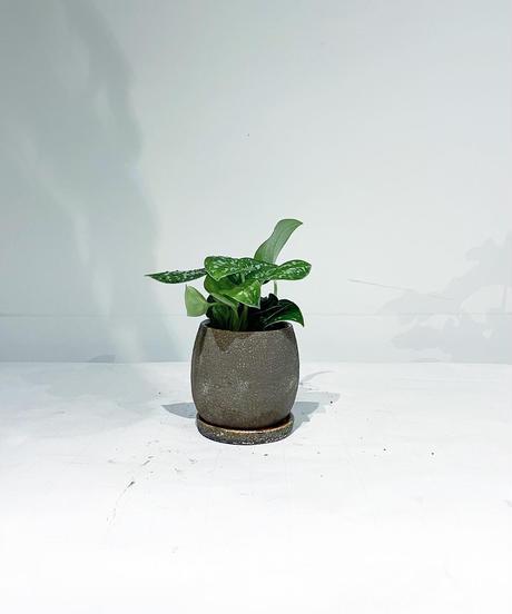 【観葉植物 】フィロデンドロン スキンダプタス / crack skin pot brown