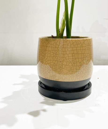 【観葉植物】フィロデンドロン セローム /  glazed crack pot pink