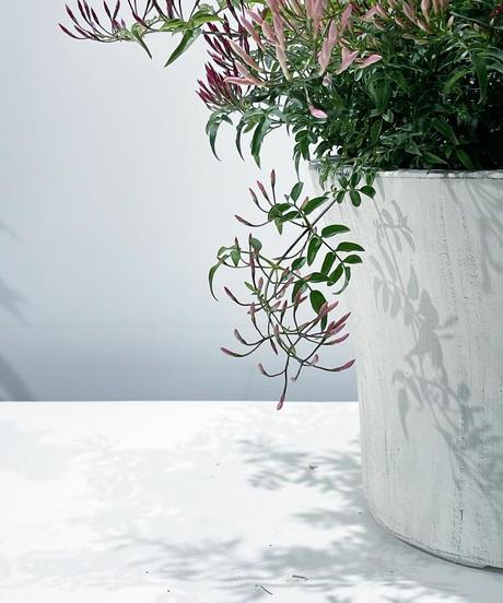 【庭・ベランダ】ハゴロモジャスミン  花芽たくさん / white mat  pot