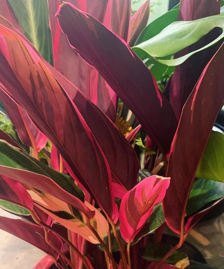 【観葉植物】ストロマンテ マルチカラー /  sylinder pot baby pink