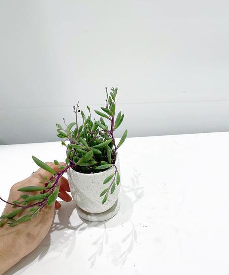 【観葉植物】ルビーネックレス / イオニアポット white