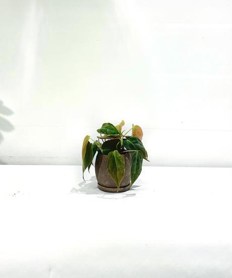 【観葉植物】フィロデンドロン ビロードカズラ  /  crackskinpot brown