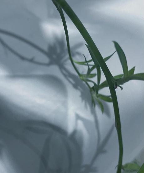 【観葉植物 】ホヤ チャイナビーン /teracotta pot/ アイアンポットスタンド