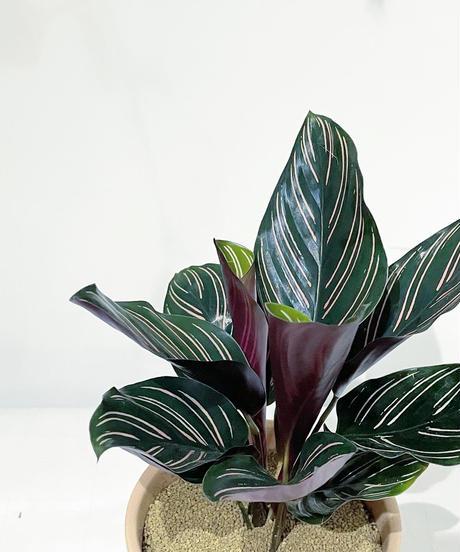 【観葉植物】カラテア・サンデリアーナ / sylinder mat pot pink