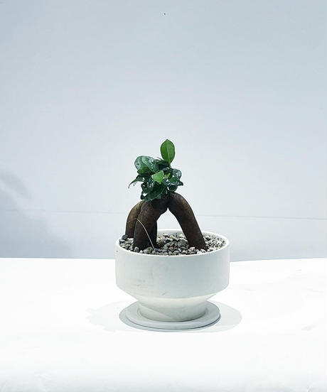 【観葉植物 】ガジュマル  / mat low pot hanase  white