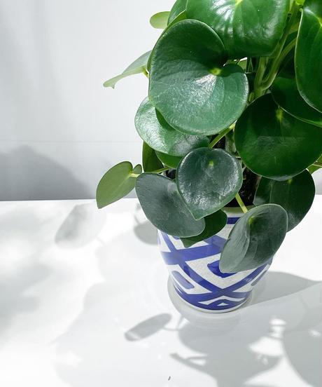 【観葉植物】ペペロミアジェイド イリニア鉢