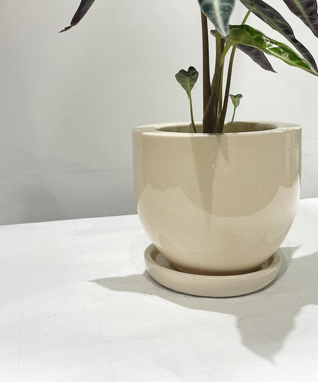 【観葉植物 】アロカシア・バンビーノ / ethnic white/navy pot