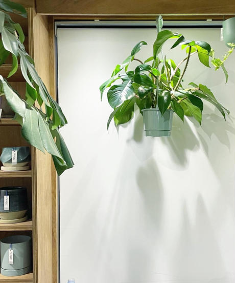 【観葉植物】フィロデンドロン・スクエミフェルム