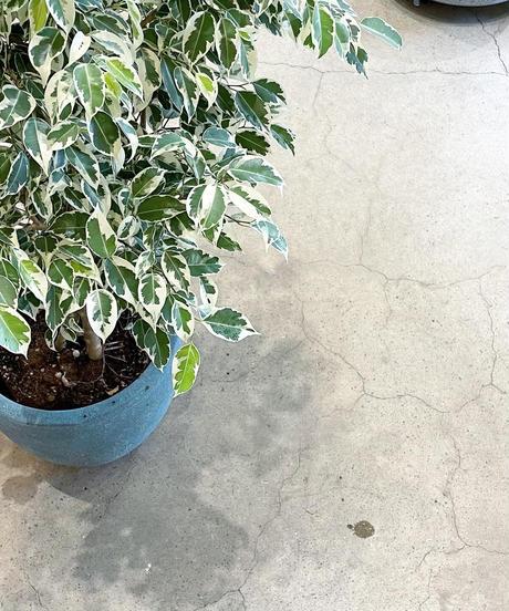 【観葉植物】フィカス ベンジャミン バリエガータ