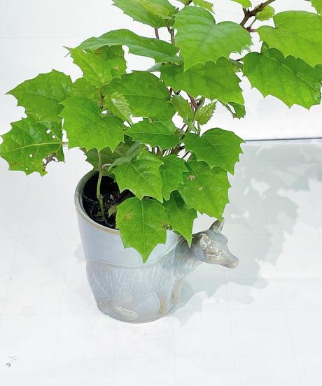 【観葉植物 】カンガルーアイビー / アニマルポット