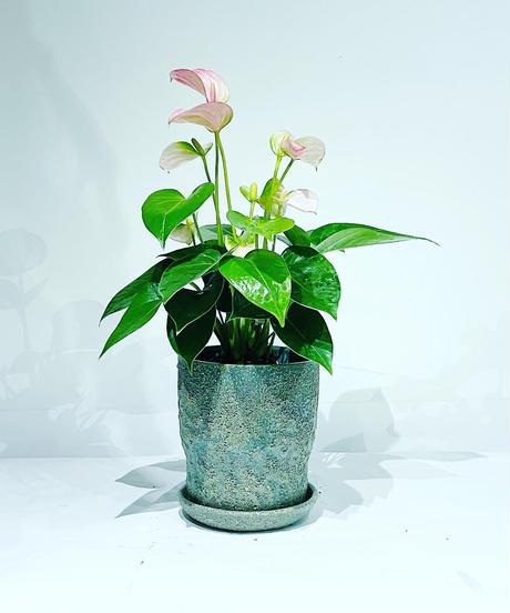【観葉植物】アンスリウム / baruna