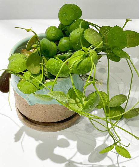 【観葉植物】ディスキディア インブリカータ /  drop paint pot green