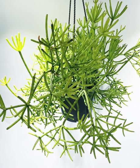 【観葉植物 】リプサリス ヘテロクラダ
