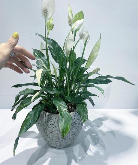 【観葉植物】スパティフィラム 斑入り / stone skin pot
