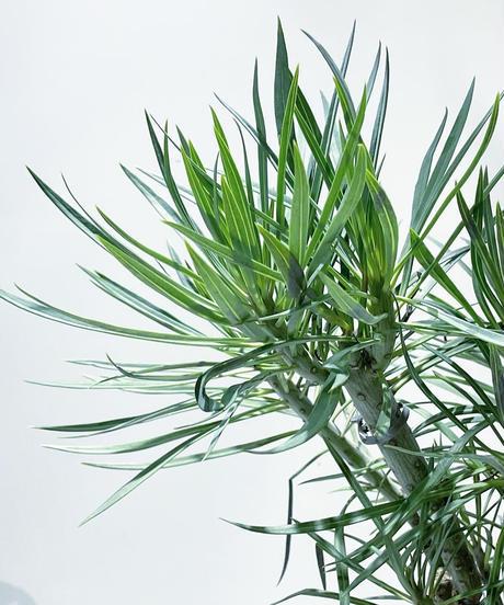 【観葉植物】モンキーツリー / ジュネス濃青