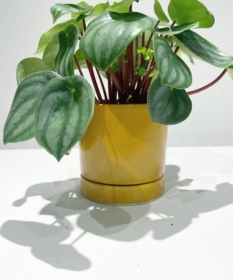 【観葉植物 】スイカペペロミア  /sylinder  mat pot       (yellow)