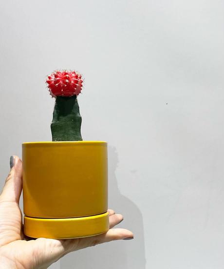 【観葉植物 】緋ボタン /sylinder  mat pot       (yellow)