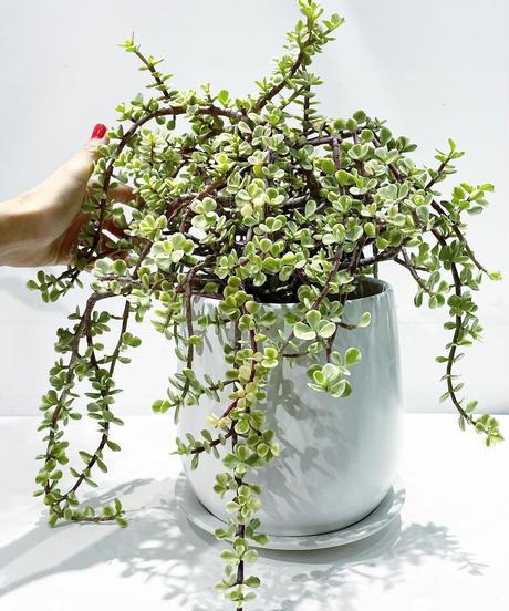 【観葉植物】ポーラチュカリア アフラ /  mat round pot white