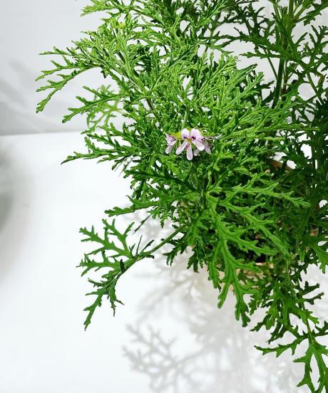 【庭・ベランダ 】スケルトンローズゼラニウム / barnacle pot  blue