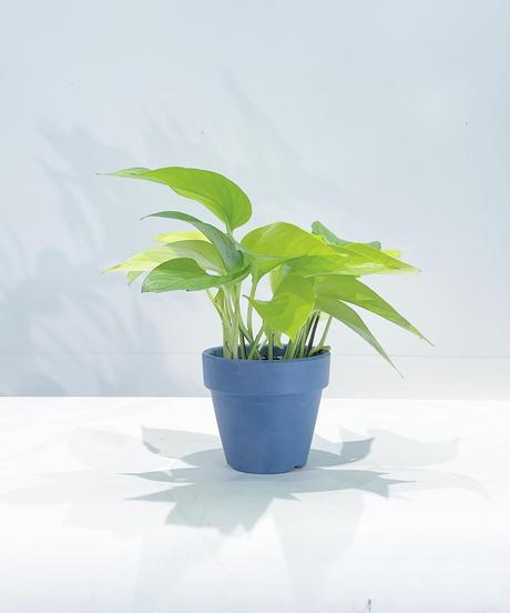 観葉植物 ポトスライム PURPLE POT