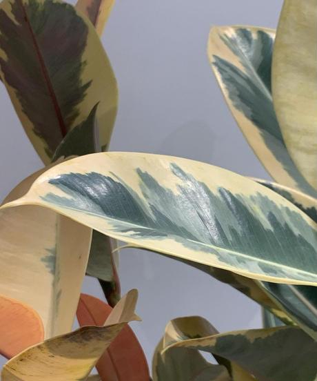 【観葉植物 】フィカス・ティネケ  / Mat Low Pot brown