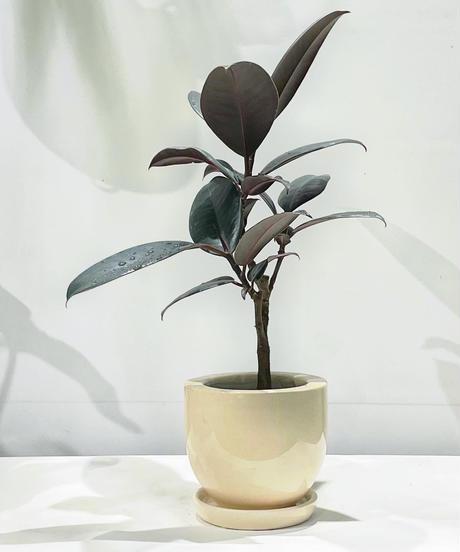 【観葉植物 】フィカス・バーガンディ  / pink grossy pot round