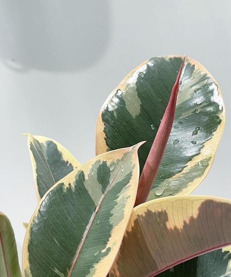 【観葉植物 】フィカス・ティネケ  / SYLINDER MAT POT smoke pink