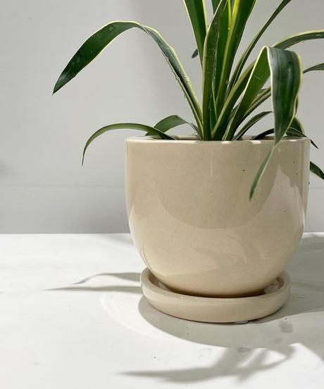 【観葉植物 】ユッカ  グロリオサ バリエガータ / pink round pot