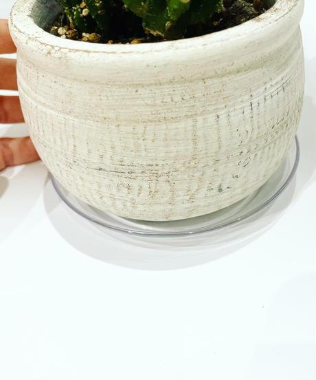 【観葉植物 】セレウス ペルヴィアナス   / ancient LOW pot φ11