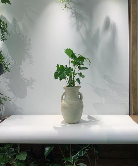 【観葉植物 】フィロデンドロン セローム   壺