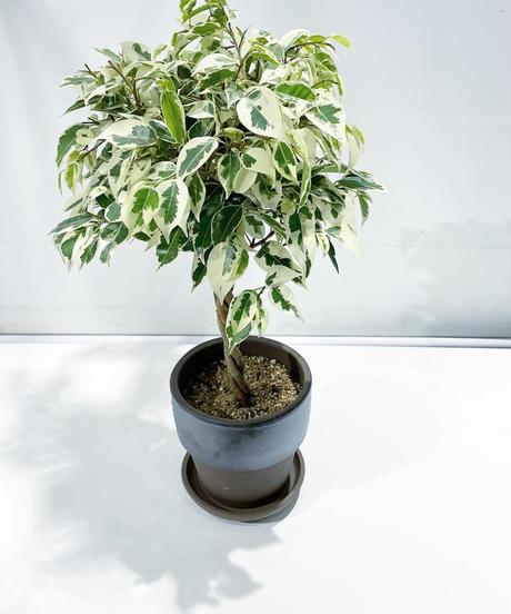 【観葉植物】フィカス ベンジャミン斑入り スタンダード仕立て  / metal rim pot