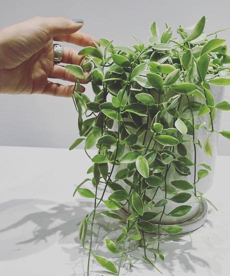 【観葉植物】ディスキディアシュガーエメラルディ / glazed tall pot white