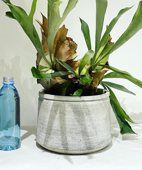 【観葉植物 】ビカクシダ  / cement low pot φ20
