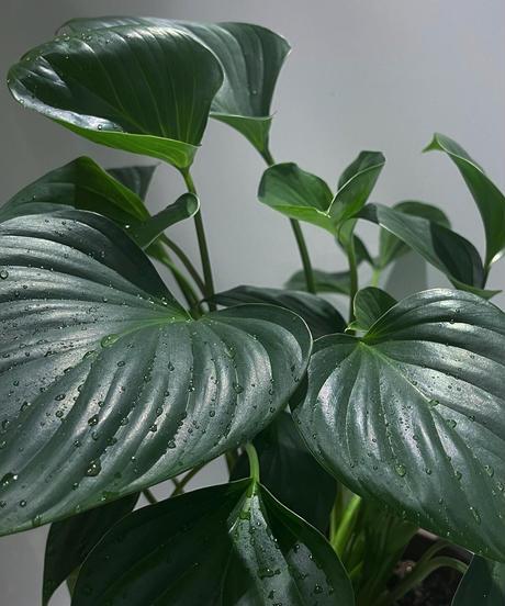 【観葉植物 】ホマロメナ  エメラルドジェム /   ジュネス濃青