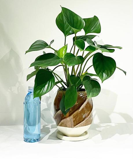【観葉植物 】ホマロメナ  エメラルドジェム /  screw pot tall   brown
