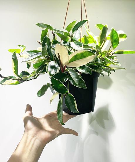 【観葉植物 】ホヤ カルノーサ バリエガータ
