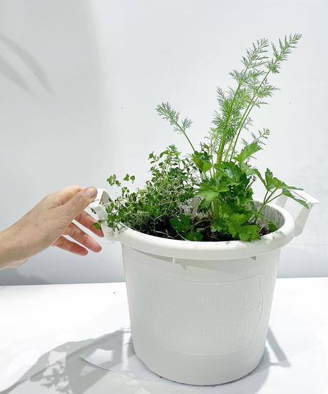 【屋外植物】イタリアンパセリ&ディル&レモンタイム 寄せ植え ( white  M サイズ)