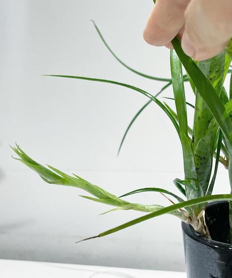 【観葉植物 】ネオレゲリア  /    Black&White long pot