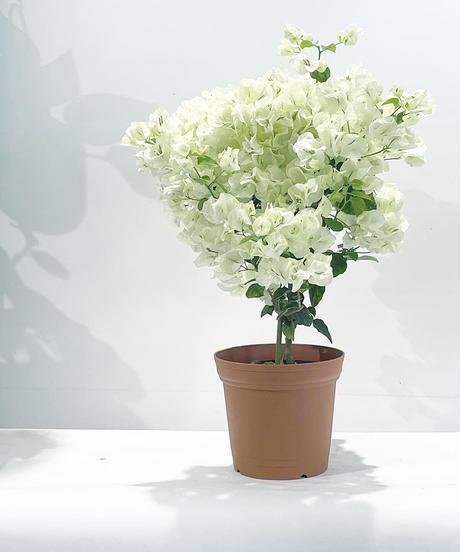 【ベランダ・庭・室内向け】4鉢限定 ボリュームたっぷり ホワイトブーゲンビリア