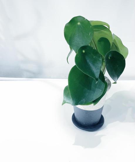 【観葉植物 】ペペロミア  ジェイド / twotone モノクロポット