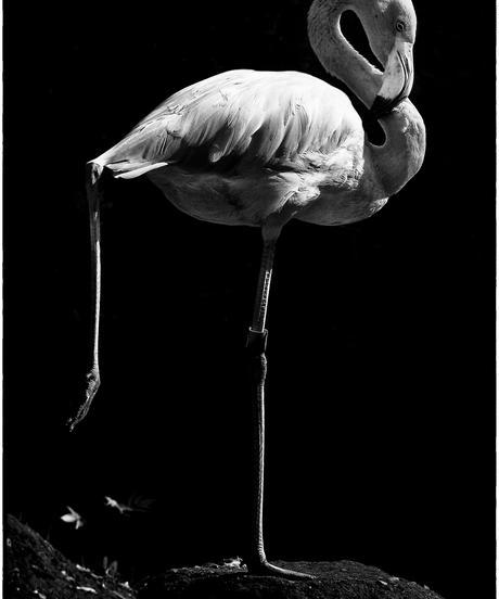 Flamingo (ポストカードプリントセット)